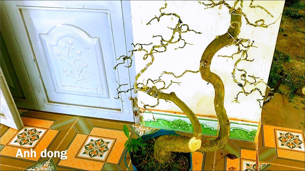 Uốn cây linh sam còn lại