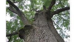 Yggdrasil, der Weltenbaum