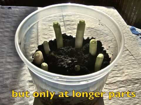 Regrowing Spring Onions At Home