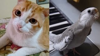 Cute Kitty and Cockatiel LEARN TO SING | What's Trending Now