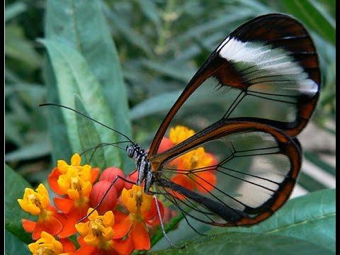 Вопрос: Где водится бабочка Грета Ото Чем интересна?