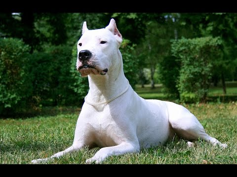 Dogo Argentino-The lord of the dogs