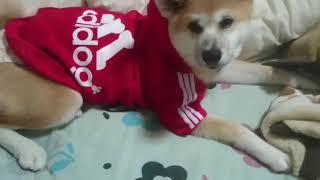 秋田犬のくり。生後5ヶ月です❤ adidogの服を着せてみました!!