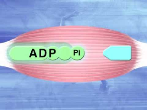 energy pathways  metabolic pathways  energy systems  bioenergetics   glycolysis
