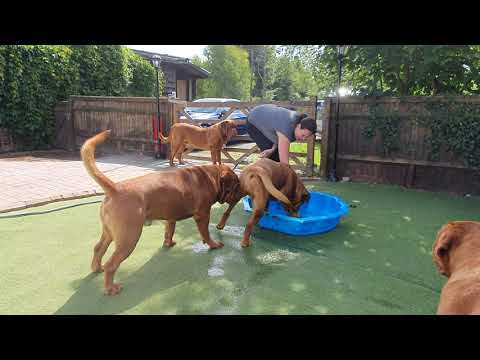 Dogue de Bordeaux water attack!!