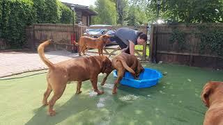 attaque de l'eau !! Dogue de Bordeaux
