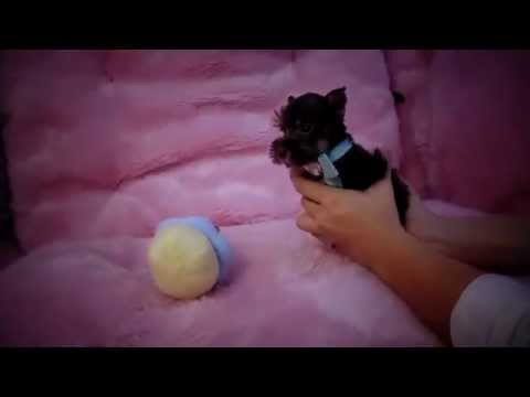 SCHNAUZER PUPPY for Sale from TeacupPuppiesStore.com NOV 2014 2016 WE SHIP