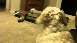 Maltese Vs Poodle Vs Poodle Terrier--grrr