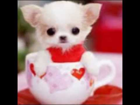 Smallest dog breed in the world 2013