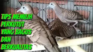 Tips, Cara memilih burung perkutut yang bagus dan berkualitas