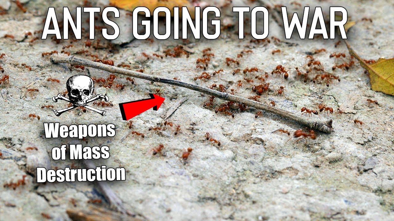 Download I Filmed Ants Going to War