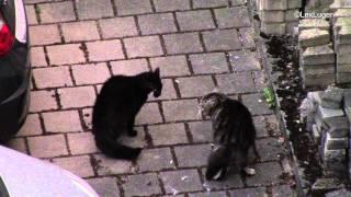 Майские коты ругаются под окном / Arguing cats