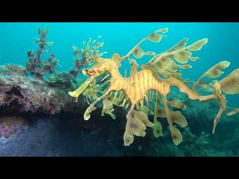Leafy Sea Dragon Rapid Bay