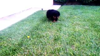 "Commander N Chief Rottweilers ""a"" Litter Breeding Of Zoey 4 Weeks Old Part 1"