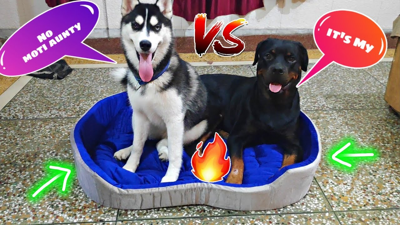 Rottweiler Vs Husky Fight For New Dog Bed🛏️ || Dog Can talk Part 42 || Roxy, Cheeni, Review reloaded