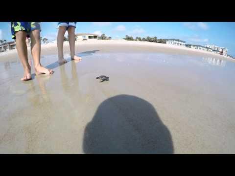 Sea Turtles at Ormond Beach, FL