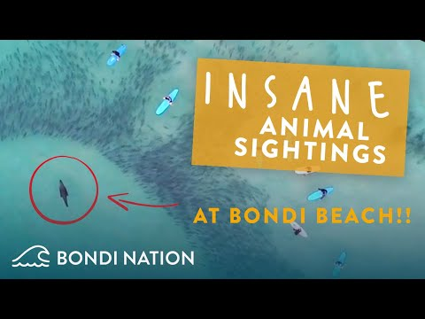Incredible animal sightings at Bondi Beach (CRAZY DRONE FOOTAGE!)