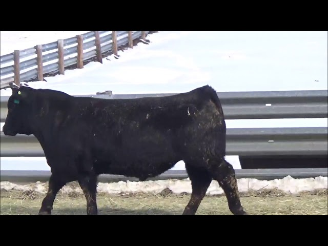 Connealy Angus Lot 379