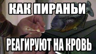 Что Будет Если Проколоть Палец и Засунуть его к Пираньям / Thrust his hand to Piranhas