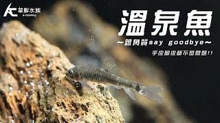 吃手皮吃腳皮的 溫泉魚|水族星球(Aquarium Planet)|AC草影水族