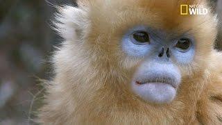 Découvrez les vocalises les plus complexes des primates