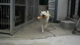 紀州犬イチ君とおもちゃで遊んでます(*^_^*) 2010年3月2日撮影。