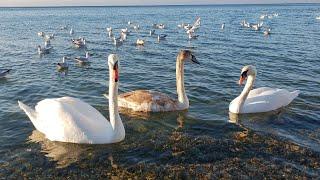 #АНАПА - лебеди на пляже высокий берег 14.11.2018
