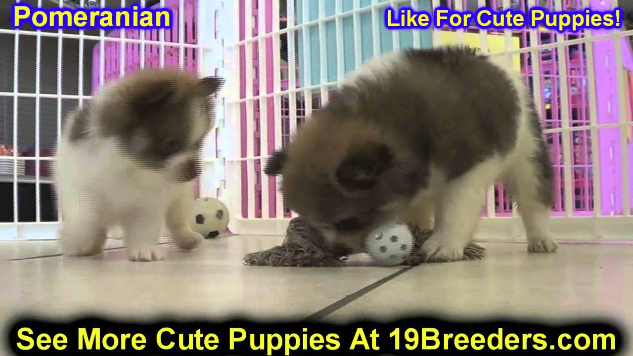 Pomeranian Puppies For Sale In Edmond Oklahoma Ok Cleveland