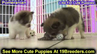 Pomeranian, Puppies, For, Sale, In, Edmond, Oklahoma, Ok, Cleveland, Comanche, Canadian, Rogers, Pay