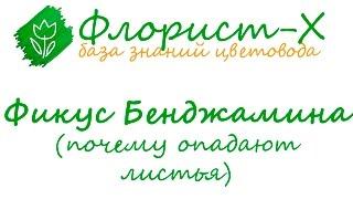 У фикуса Бенджамина опадают листья(Почему фикус Бенджамина сбрасывает листья: сквозняки и неправильное освещение, неверное размещение. Опада..., 2015-11-13T13:41:30.000Z)