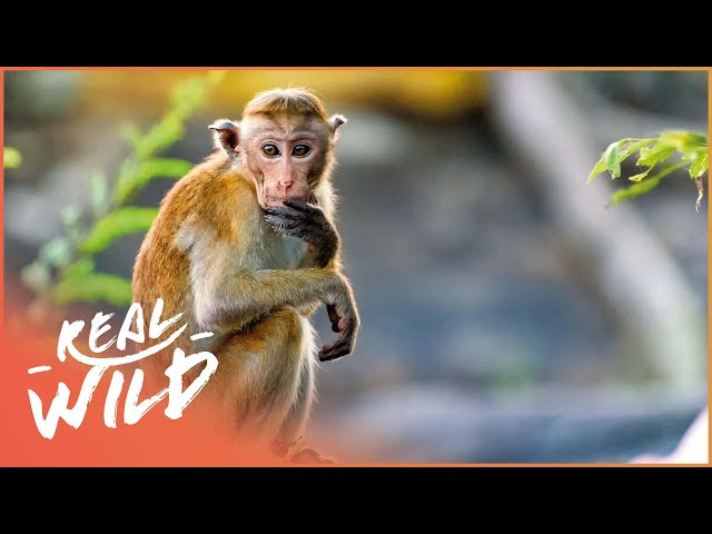 Meet The Monkeys With A Thirst For Blood!   Bite Me With Dr Mike In India   Real Wild Channel
