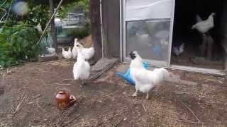 烏骨鶏にキリギリスをあげてみました♪ 隣で卵を抱いている烏骨鶏を発見...