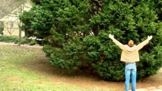 *Leyland Cypress* +Grown+Christmas Trees @ Clemson University+N