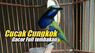 Download Lagu Masteran burung - cucak cungkok gacor full tembakan mp3