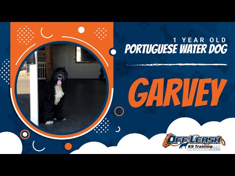 1 Year Old Portuguese Water Dog Garvey!| Best Dog Trainers VA|14 Day Transformation!