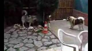 Siberian Husky Vs Alaskan Malamute: Dreamy Jugando Con Roy