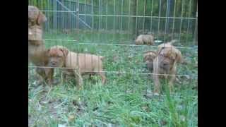 Red Dog Ridge Dogue De Bordeaux Pup Video - 7 Weeks Old Part 1