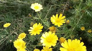 Цветут дикие хризантемы#оставайтесьдома/весна/желтые цветы/цветение/весенние цветы/природа/красота