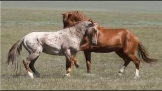 Observing Stallion & Herd Behavior - Learning To Think Like A Horse