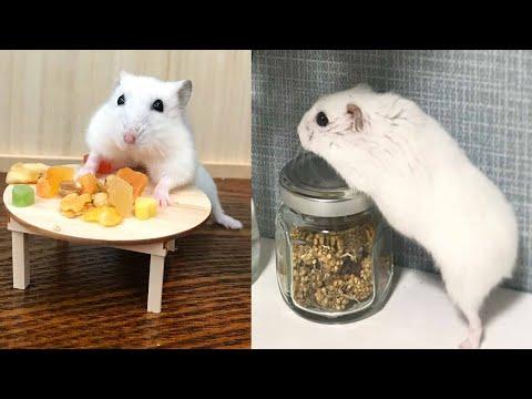 Смешная ОЗВУЧКА | Приколы с животными |Хомяки смешное |Hamsters Like #267