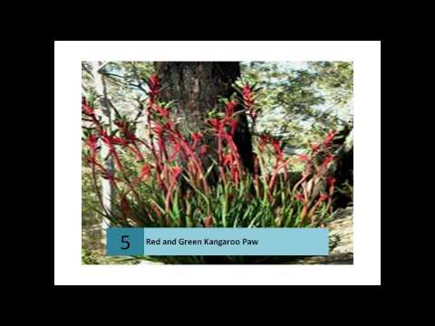 Red and Green Kangaroo Paws - Gday from Western Australi