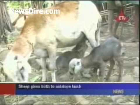 Ethiopian News -Sheep gives brith to antelope lamb in Ethiopia, East Gojjam Zone