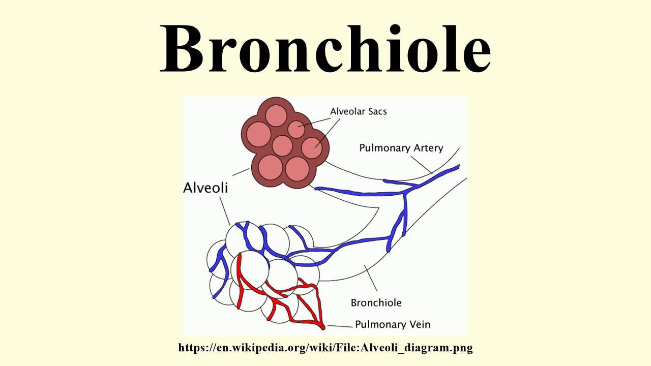 bronchiole - 1280×720