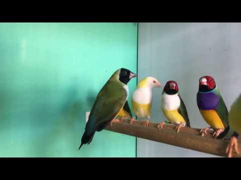 Muhabbet Kuşu Goldien Finçh Gökkuşağı 🌈