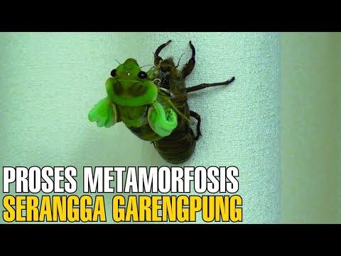 MENAKJUBKAN ! Proses Metamorfosis Serangga Tonggeret Setelah 17 Tahun Tertidur   Fakta Unik