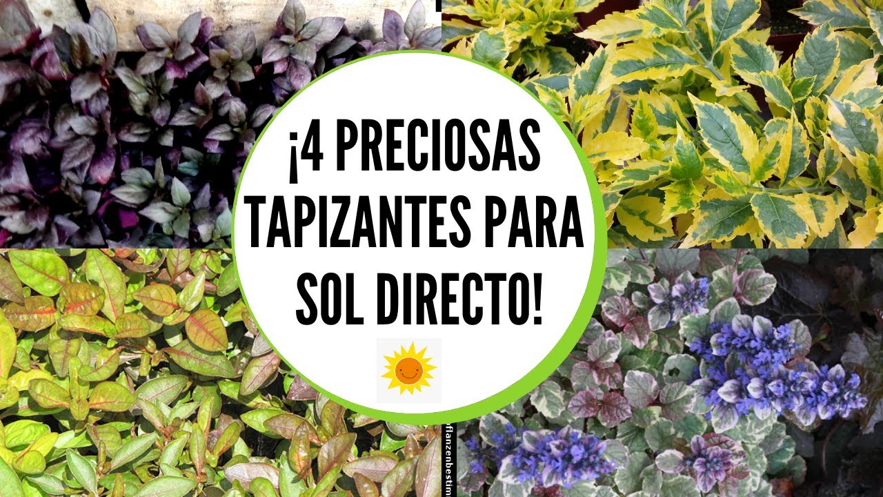 Plantas tapizantes para jardin  / Plantas tapizantes para sol