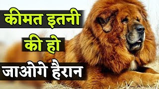 Tibetan Mastiff Dog का Price जानकर हैरान हो जाओगे आप