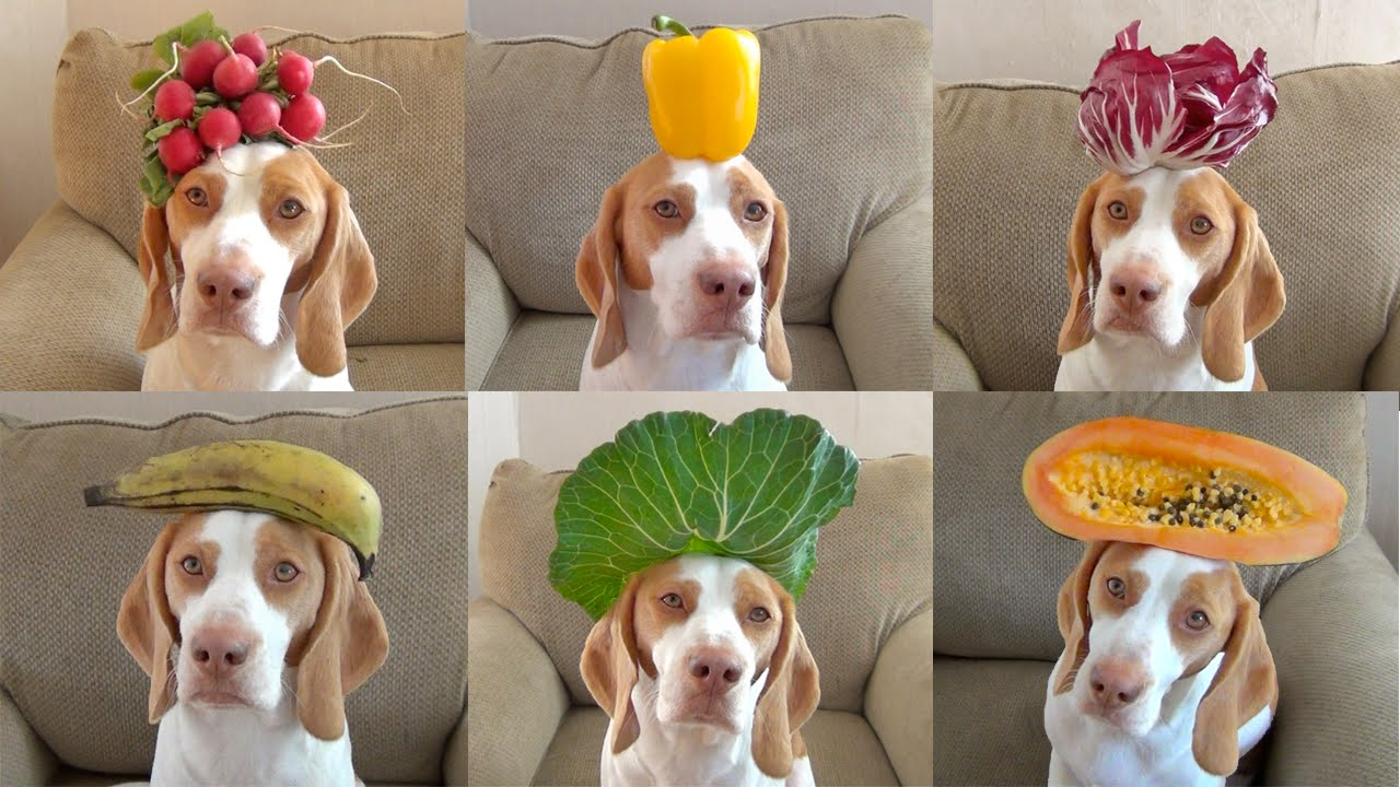 100 fruits vegetables on dog 39 s head in 100 seconds cute dog maymo youtube. Black Bedroom Furniture Sets. Home Design Ideas