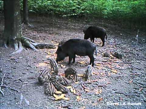 AVPS L.R. Hunters - Porci mistreti hranindu-se.