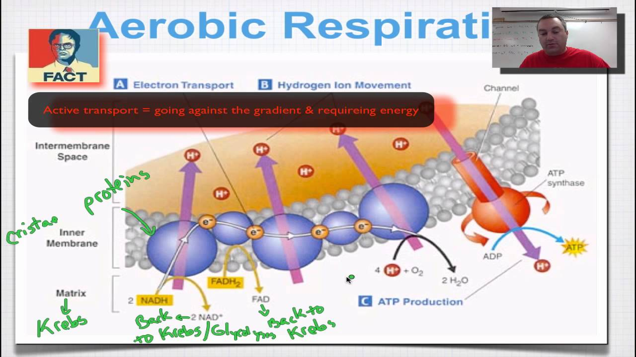 electron transport chain Electron transport chain: the movie to read a text version of the narrative used in this movie, click here the above animation is an embedded windows media movie of the electron transport chain in action.